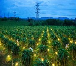 Kỹ thuật trồng Thanh Long trái vụ với máy phát điện
